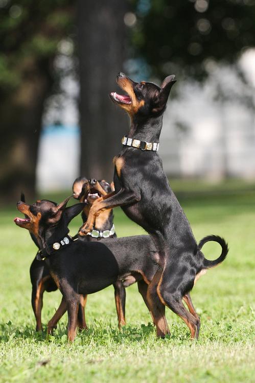 Собака Карликовый пинчер: красивые фото внешнего вида взрослых ... | 750x499