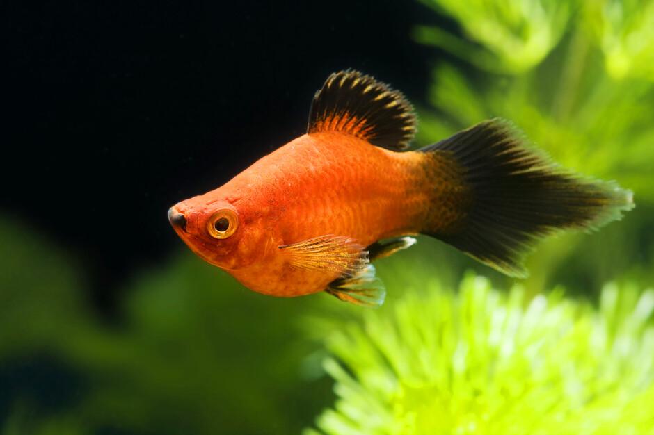 Акуариумны рыбы секс