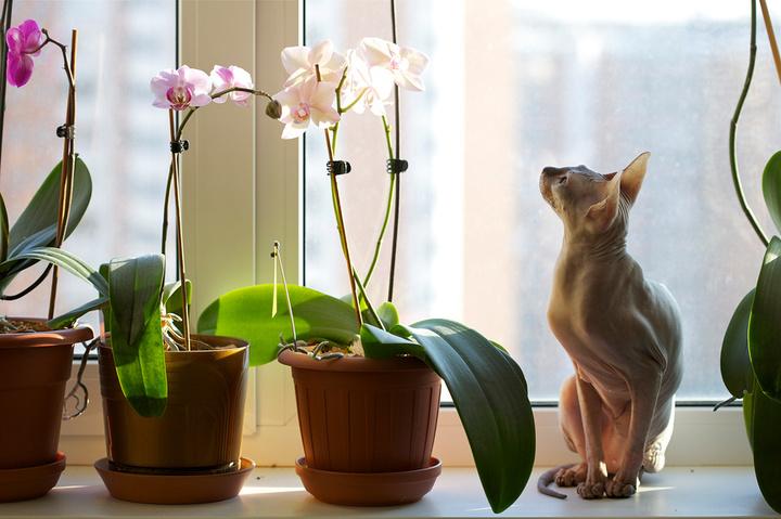 Сонник пересаживать цветы в горшках комнатные