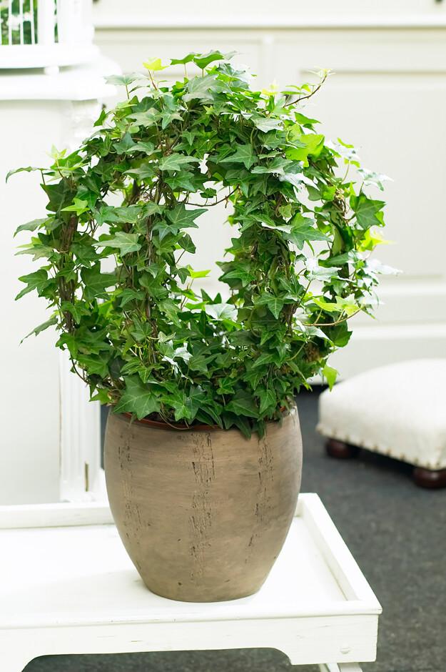вьющееся комнатное растение