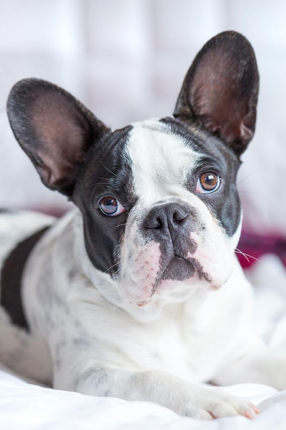 порода собаки французский боксер