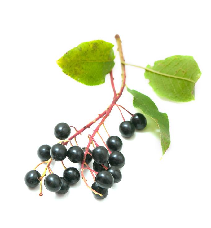 черемуха плоды фото